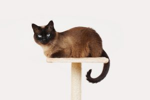 41477508 - siamese cat resting on lookout platform on top of scratching post