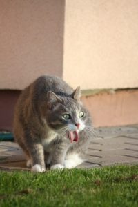 cat vomiting next to grass