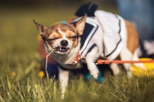 57125697 - funny chihuahua enjoy chewing the summer grass. sunny day