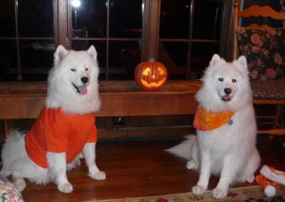 White Magic Samoyeds