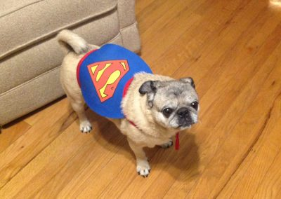 Kramer- as super pug