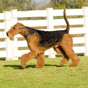York's were bred from Airedale dogs