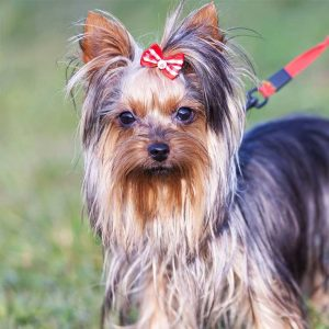 Brookfield Animal Hospital specializes in Yorkies