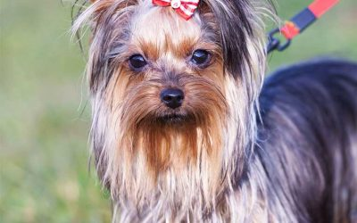 The Yorkie (Yorkshire Terrier)
