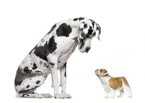 Great Dane and little French bulldog have different nutritional needs