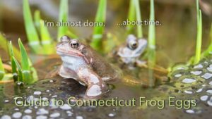Use this guide to tell the difference between salamander, frog and toad eggs. Guide to vernal pond ecology too. Brookfield Animal Hospital is a veterinarian serving the Fairfield part of Connecticut and the towns of Brookfield and Danbury Connecticut. Animal hospital for dogs and cats in Danbury