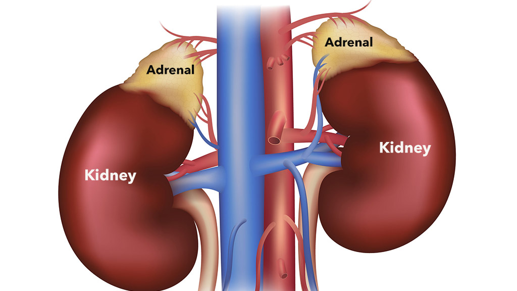 picture of adrenal glands involved in cushing's disease in dogs
