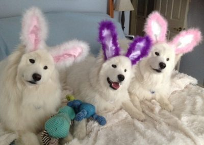 White Magic Samoyeds as bunnies