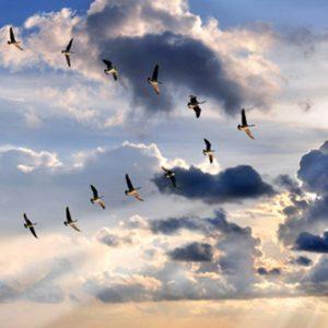 Flock of geese flying over veterinarian in danbury