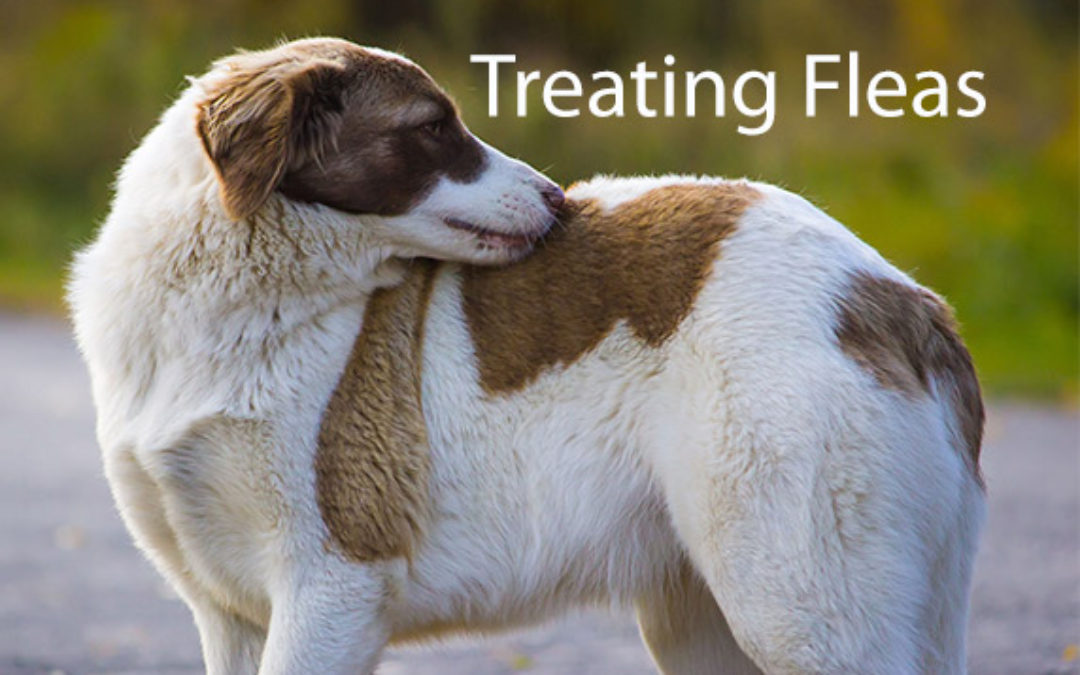 What To Do If My Pet Has Fleas