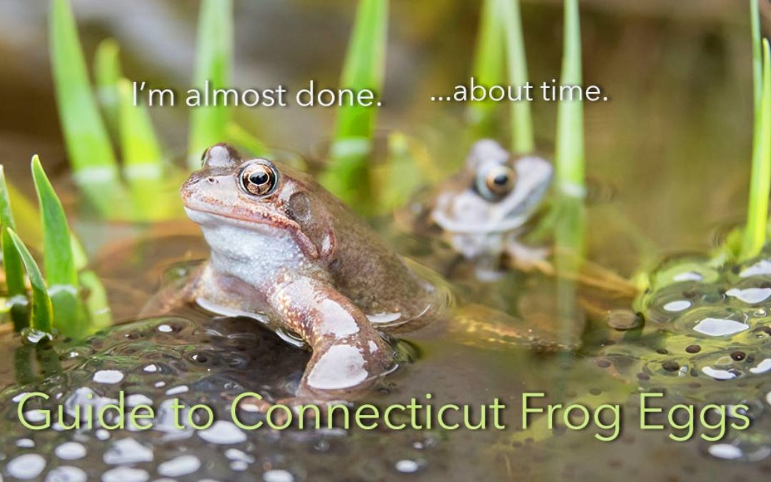 Field Guide to Frog Eggs of Connecticut