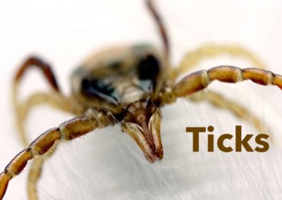 CT Tick Disease 'Near Epidemic' in 2018:  The Facts