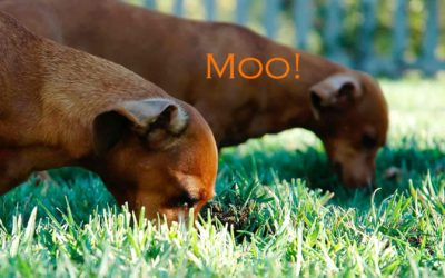 Pooch or Push Mower: Why Does My Dog Eat Grass?