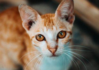 Vaccine Schedule: Cats