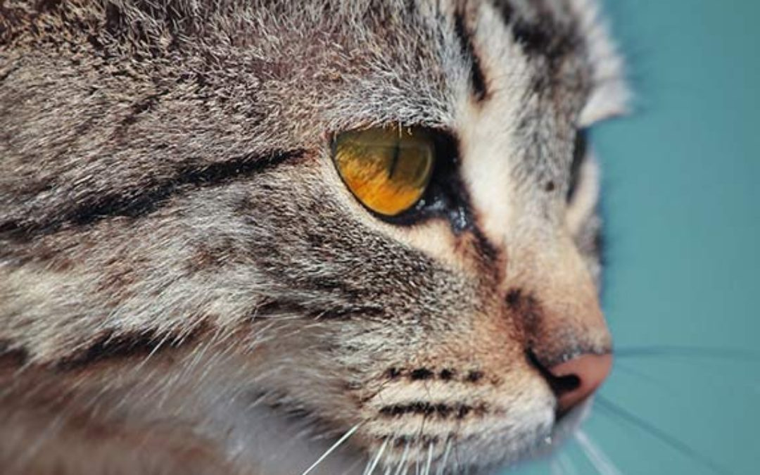 The Three Most Common Diseases in Older Cats…and they all respond to treatment!