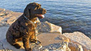 Brookfield Animal Hospital displays a Portuguese Water Dog