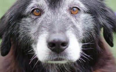 Why Do Dog's Eyes Get Bluer As They Age?