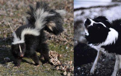 Skunked!